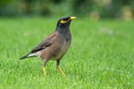 common_myna_acridotheres_tristis_mynah_indian_myna_sturnidae_starlings_mynas_bird-1038499.jpg