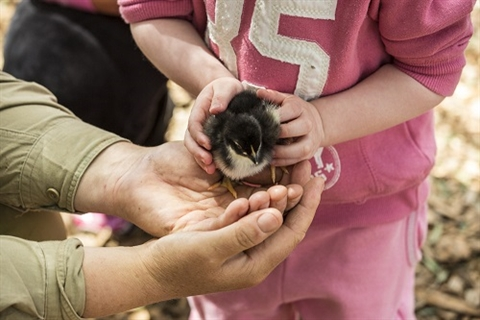 girl patting baby chick